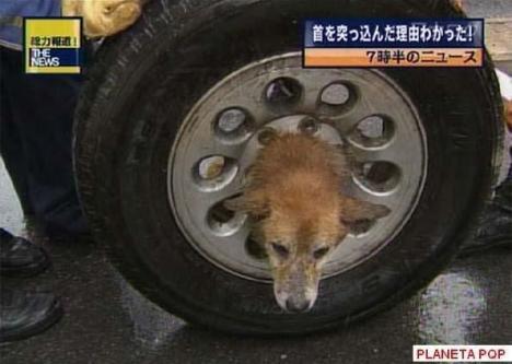 cachorro na roda